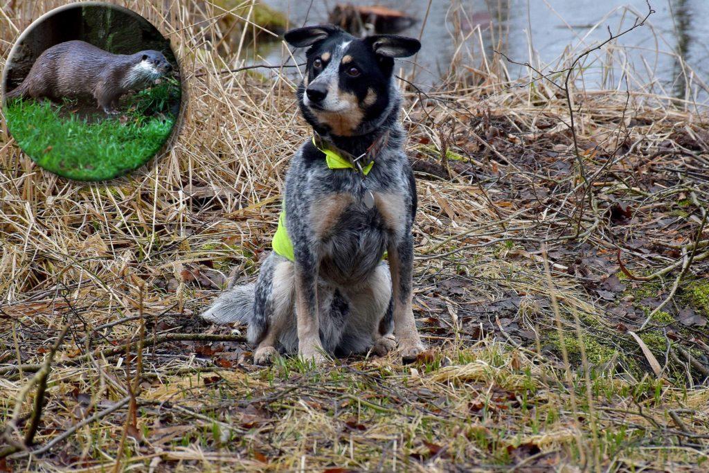 Fischotter-Suchhund (© Annegret Grimm-Seyfarth)