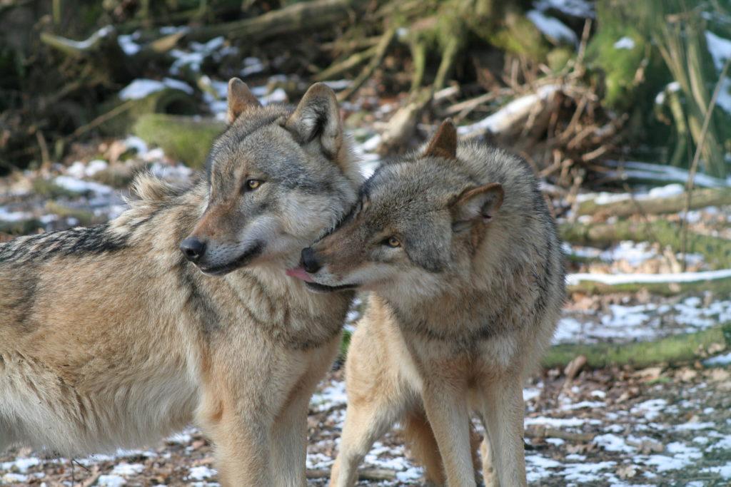 Wölfe (© Felix Böcker)